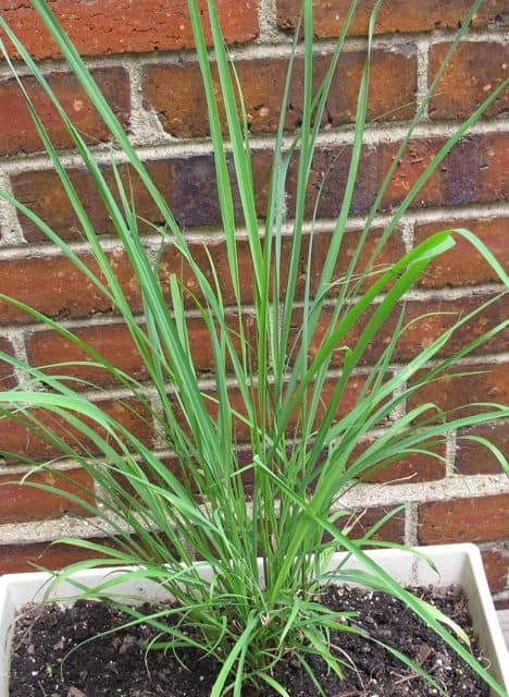 herbs, lemon grass, recipes