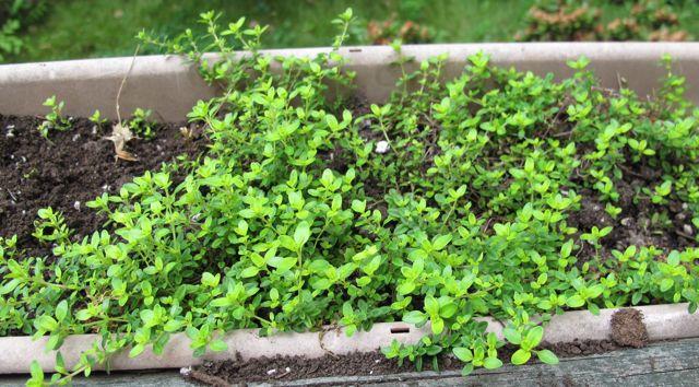 herbs, thyme, lemon thyme, herb leaves