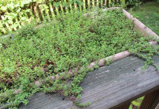 home-grown thyme