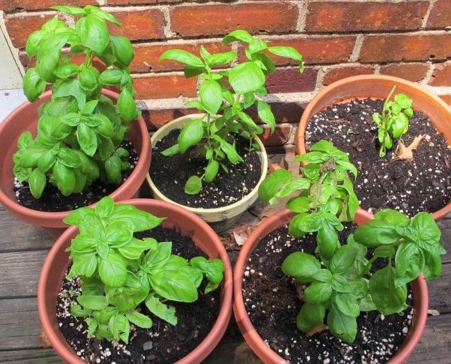 plant herbs, basil
