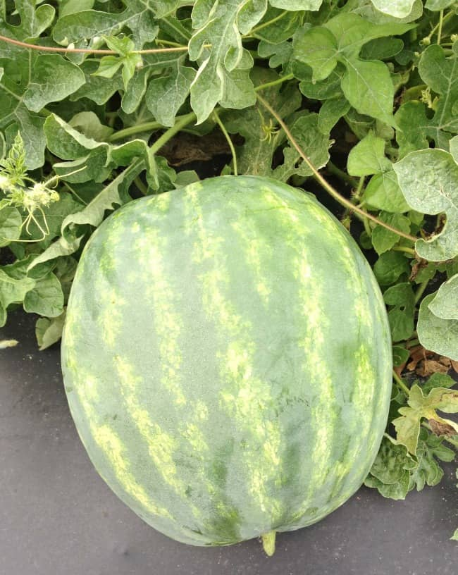 seedless watermelon growing