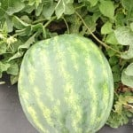 Watermelon – From Farm to Festival