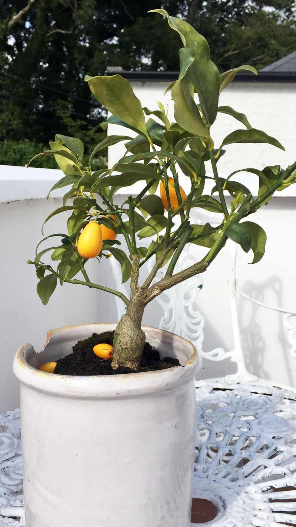 the kumquat tree on the terrace of our room at Barrow House